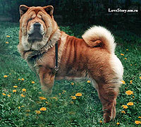 smooth chow-chow Bonni Smoothland