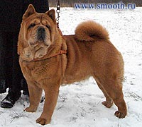 smooth chow-chow Love Story Bordzhia Smooth Bestseller