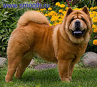 smooth chow-chow Bon Triuph Olimpia For Love Story