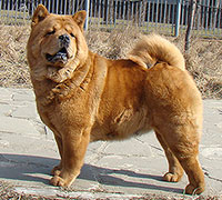 smooth chow-chow Lav Story Normandia