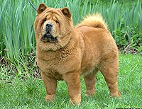 smooth chow-chow Latibur I Am Proud To Be Smooth