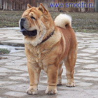 smooth chow-chow dog Si Huang Ti Velvet Prince