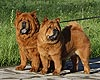 smooth chow-chow Buba and Nika