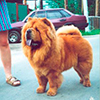 chow-chow BIS LAC RIVA