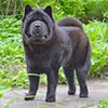Chow-chow black smooth FORTUNA I FAVN GALIANO