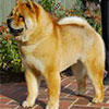 Chow-chow Paramount SMOOTH STARFIRE