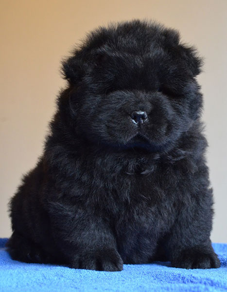 Chow Chow Puppies In Love Story Kennel Moscow Russia