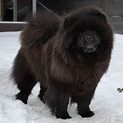 Chow-chow puppies in LOVE STORY Kennel Moscow Russia