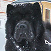 Black chow-chow smooth EL'ZHAMIN NIGHT BEAUTY