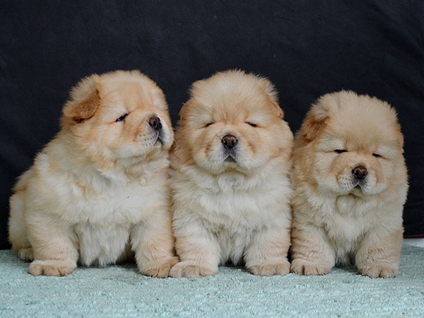 Baby Chow Chow Dog For Sale